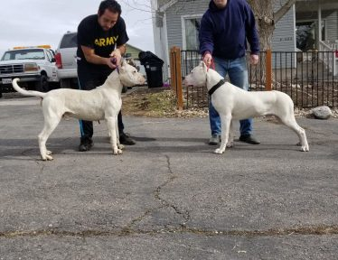 Two Male Dogo Argentino face off