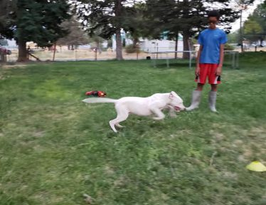 White Male Dogo Argentino playing outside
