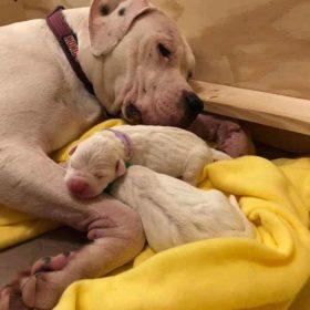 Paloma and dogo pups